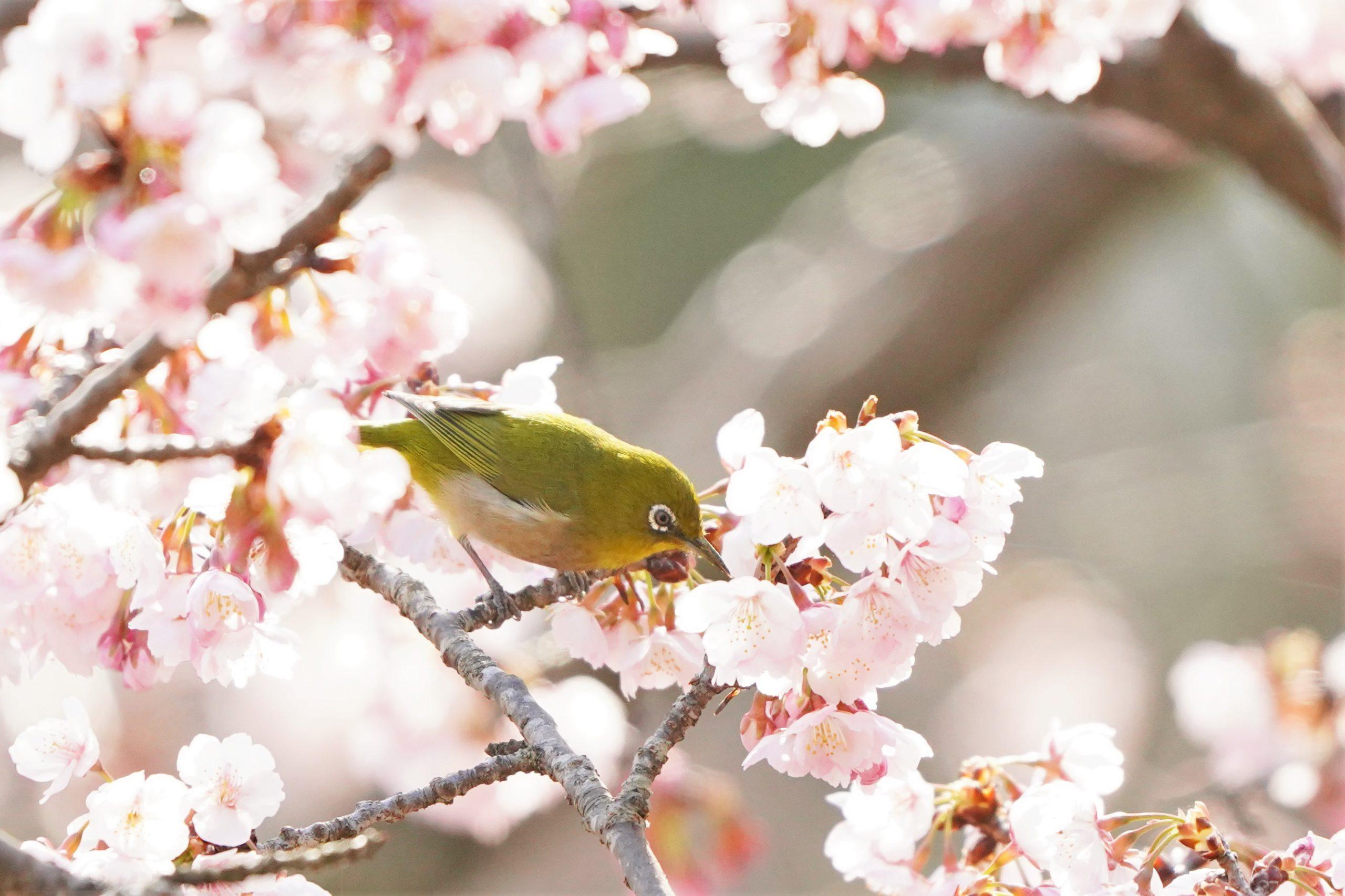 待ちわびた春味 3月20日は「春分の日」 寒桜に野鳥群がる | 丹波新聞
